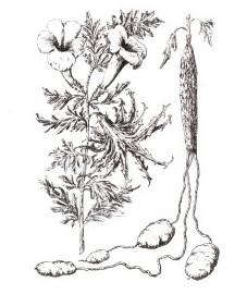 Гарпагофитум