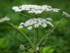 Борщевик. Что нужно знать об этом опасном растении и фотохимическом дерматите