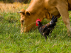 Правительство поставит под контроль применение антибиотиков в животноводстве.